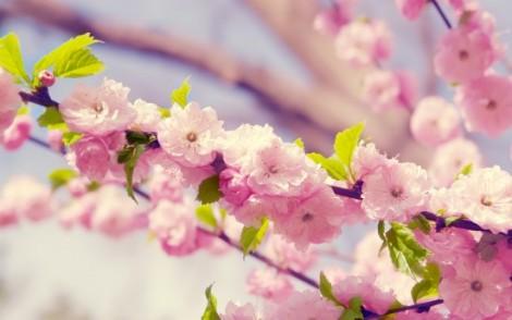 sakura-vishnya-vetka-flowers-petals-bloom-spring