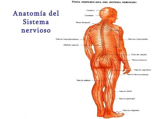 Imágenes Del Sistema Nervioso Estructura Partes Y Nombres