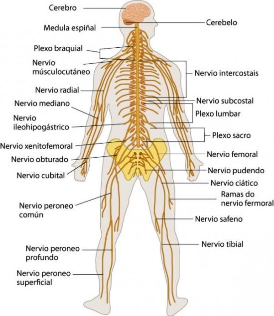 Imágenes Del Sistema Nervioso Estructura Partes Y Nombres Saberimagenes Com
