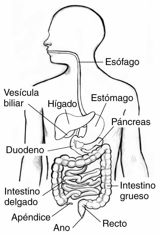 Aparato Digestivo Sus Partes Y Funcionamiento Con Imágenes
