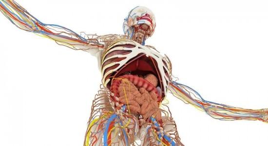 Organos del cuerpo humano y sus funciones